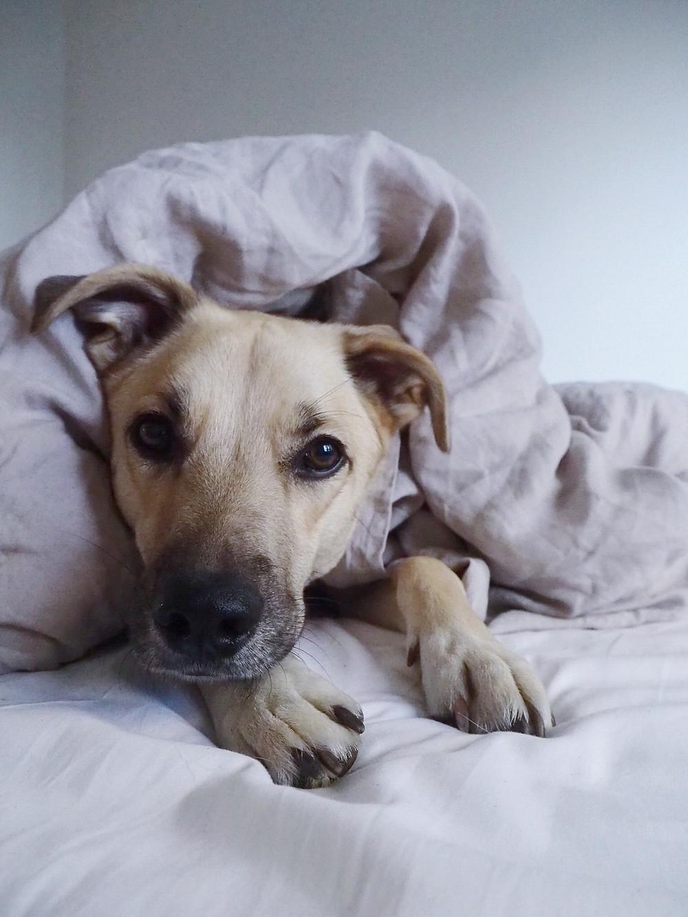 Romaniasta adoptoitu koira