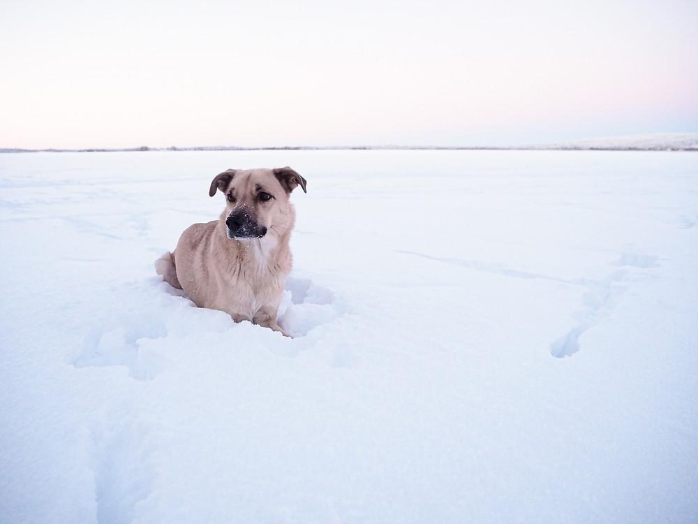Rescuekoira nauttii lumesta