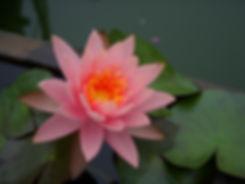 pink_lotus_dscn1239_515687.jpg