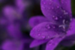 Rain drops on purple flower.jpg