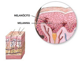 melanócito_com_legenda2.png