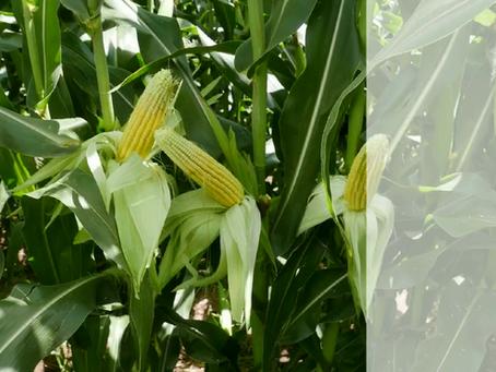 Yellow Hybrid Maize - CAP 122-60