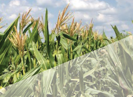 Annual Summer Grasses - Pearl Millet and Hybrid Forage Sorghum