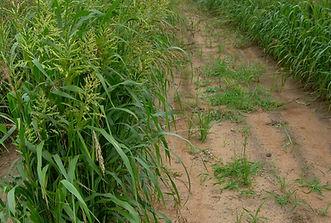 Sudan%20grass_edited.jpg