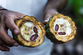 Fresh Cocoa fruit in farmers hands. Orga