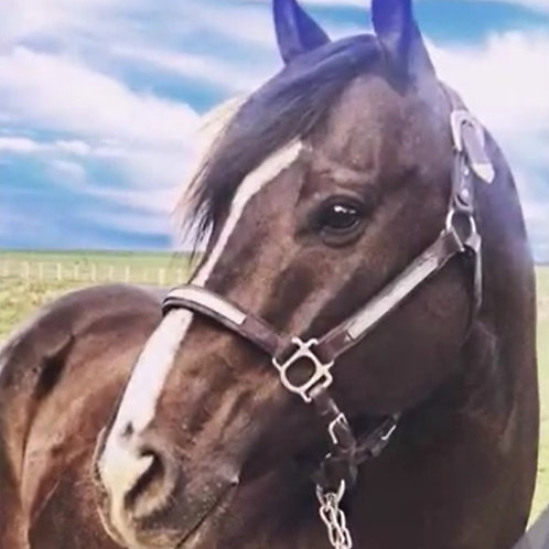 2010 Frenchmens Chico Brown Gelding
