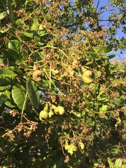 Cashew_tree
