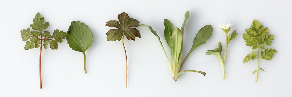 persil, menthe, coriandre, épinards, choux kale, choux rouge, blette