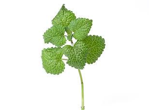 Herb_Lemon Balm Green.jpg