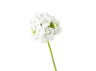 Edible Flowers_ Sweet William.jpg