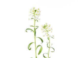 Edible Flowers_ Alyssum.jpg