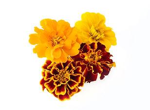 Edible Flowers_ Marigold_Group.jpg