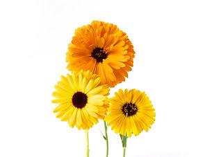 Edible Flowers_ Calendula.jpg