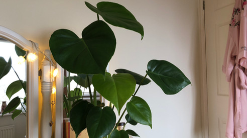 """""""Glossy Green Heart-Shaped Foliage"""" 💚Guest Blog 💚"""