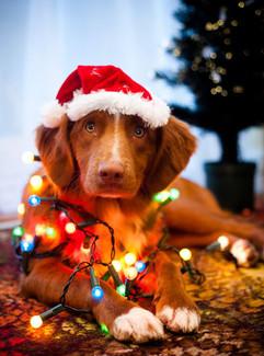 christmasdog.jpg