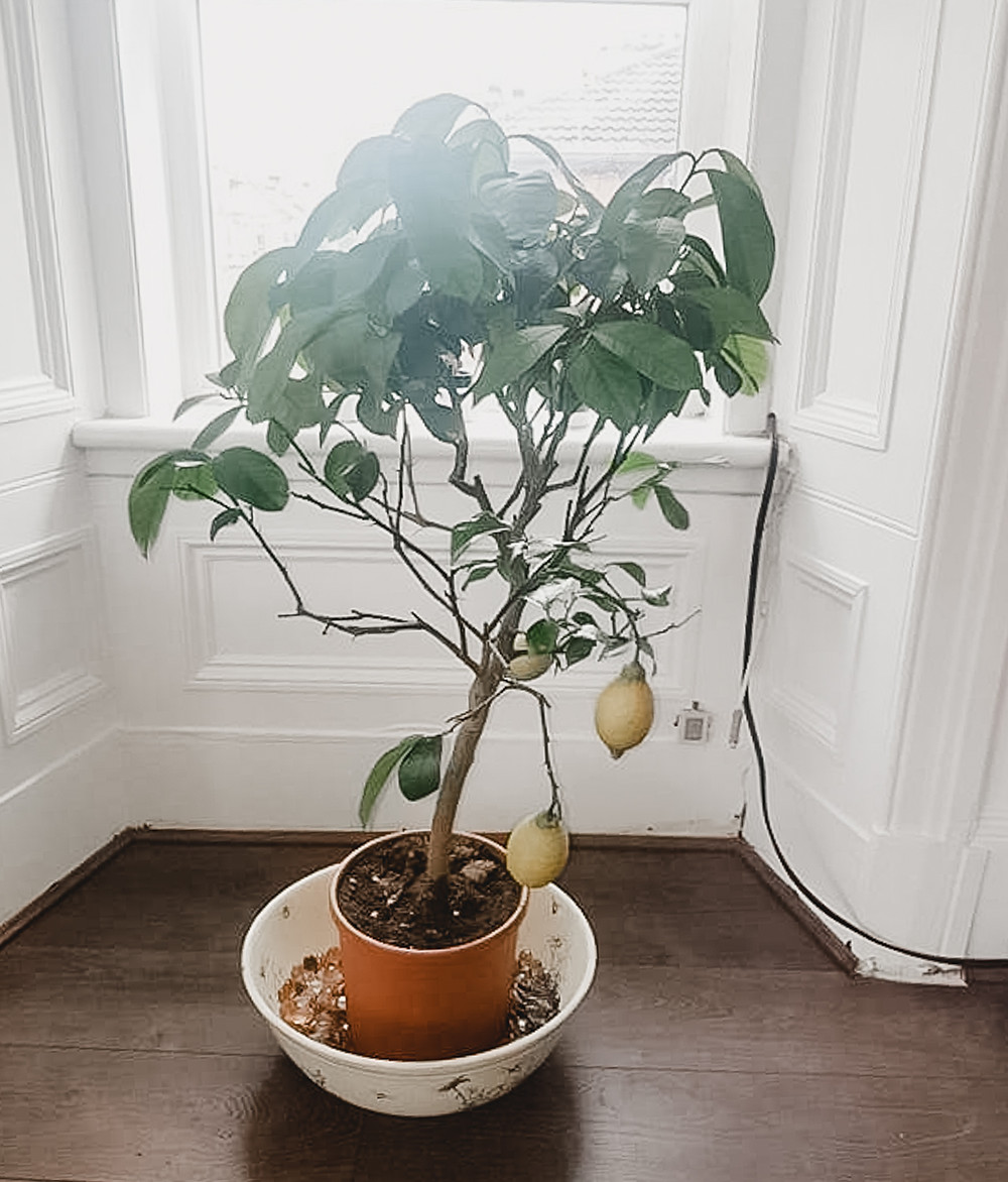 Small lemon tree