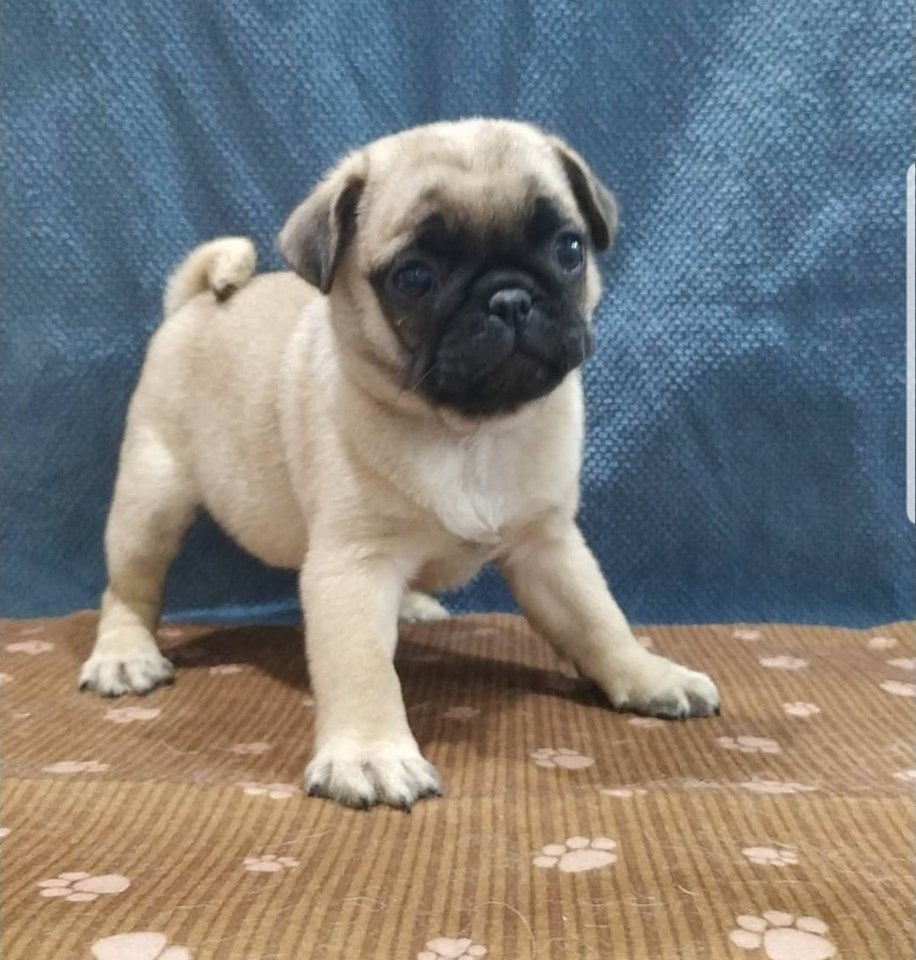 Pets Available - Pug Boy