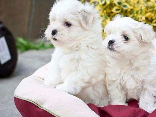 Maltese available
