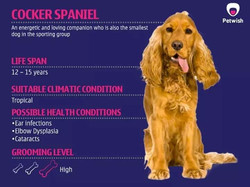 English Cockier Spaniel Available
