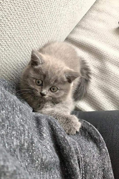 British short hair female Kitten