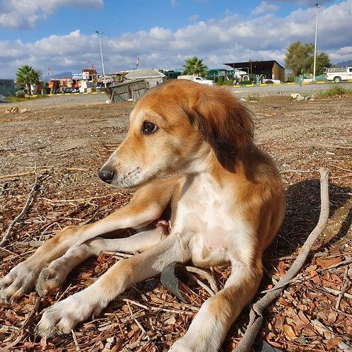 Saluki Male Puppy