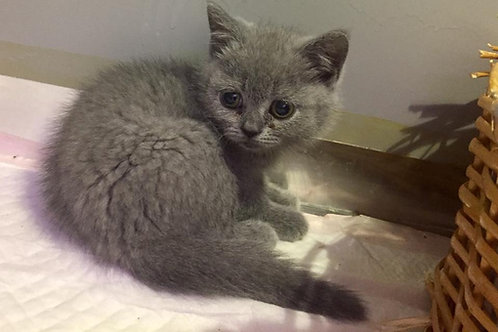 British short hair male kitten