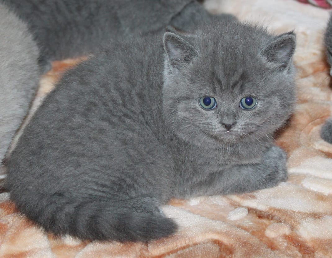 British Short Hair Kitten
