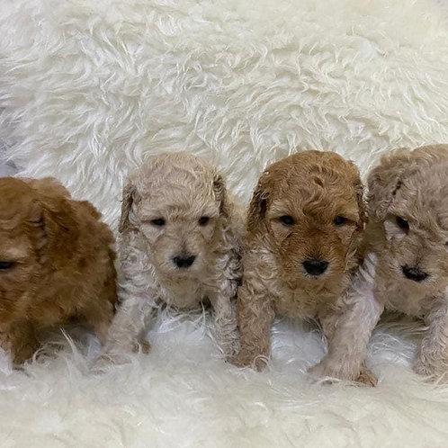 Miniature Poodles Available in dubai