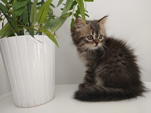 Siberian Kitten Available