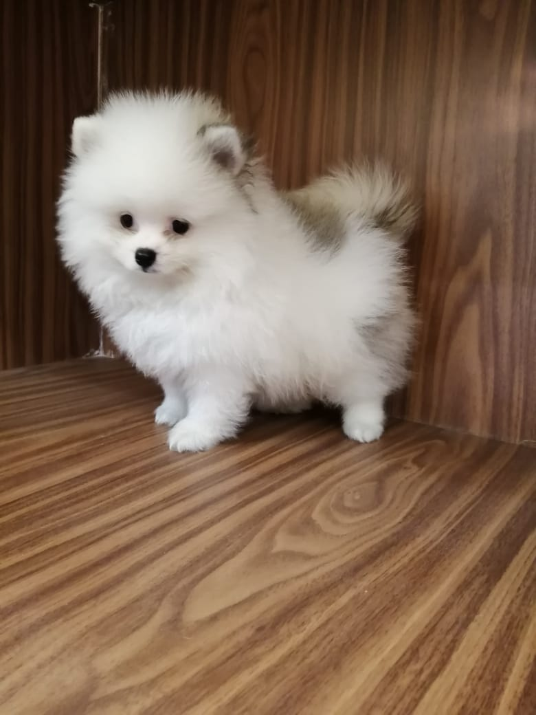 Mini Pom Male - 10500AED