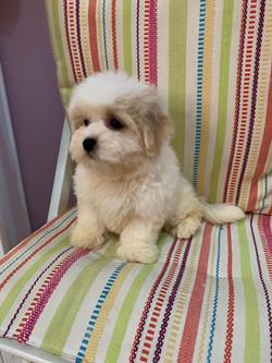 Super Cute Havanes Puppy