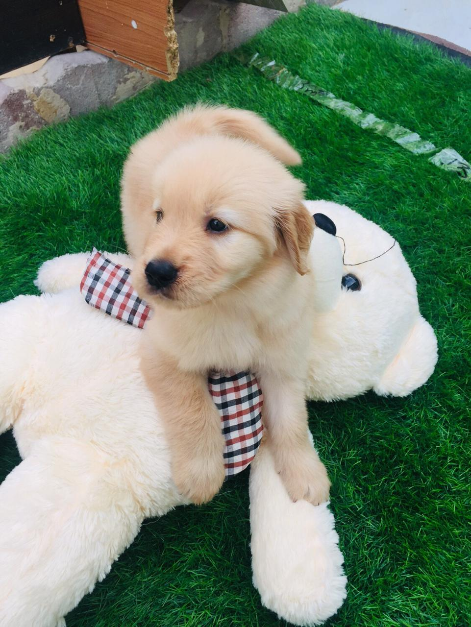 Super Cute Golden Retriever