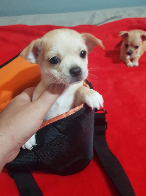 Mini Chihuahua Puppies Available