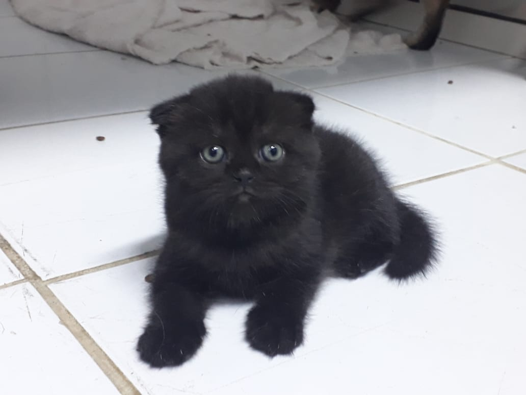 Black Scottish Fold - 3000