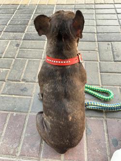 Home Bred French bulldog