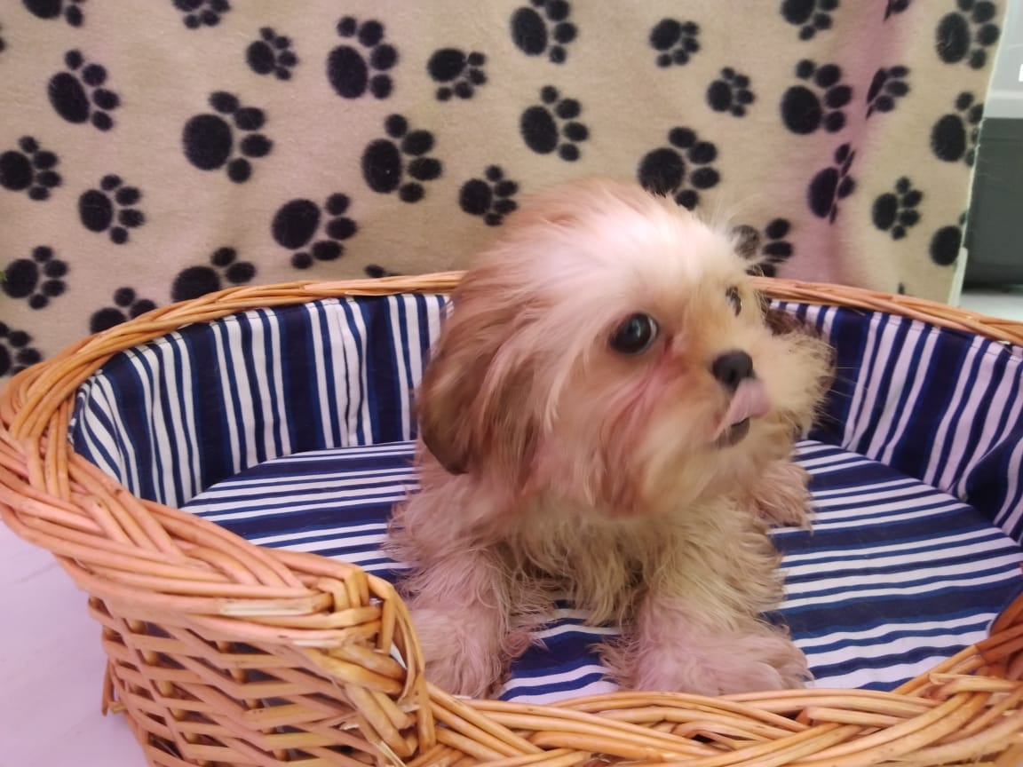 Shihtzu Female - 5500