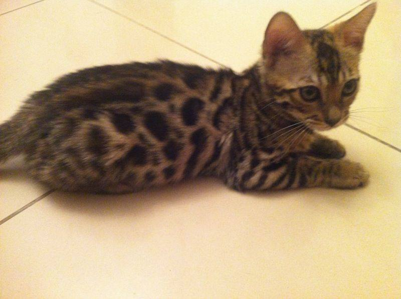 Pets Available - Bengal Kitten