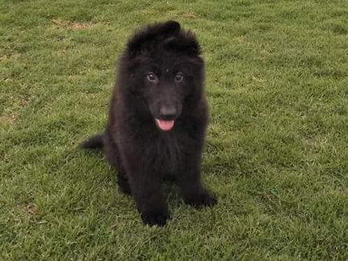 King size black German Shepard Male