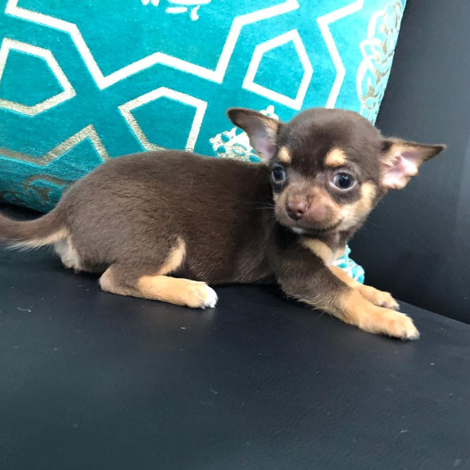 Mini Chihuahua Puppy
