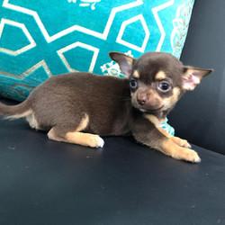 Mini Chihuahua Puppy