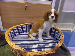 King Charles Cavalier - 7500Aed