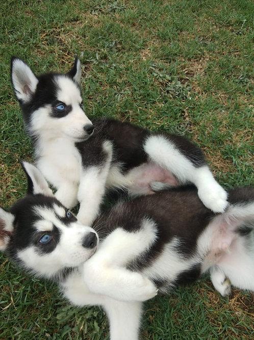 Husky Male & Female Pups