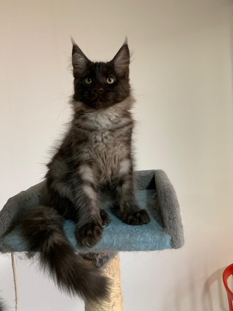 Mainecoon Kitten