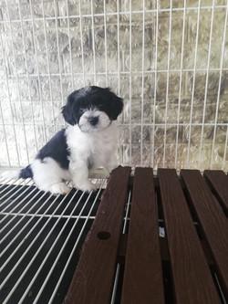 Havanese Female Puppy