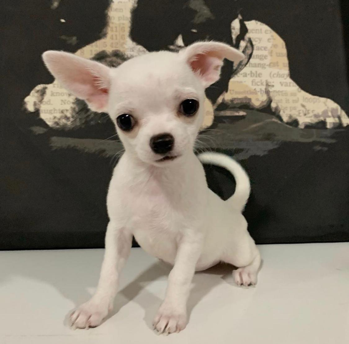 Mini Chihuahua boy