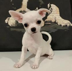 Mini Chihuahua boy