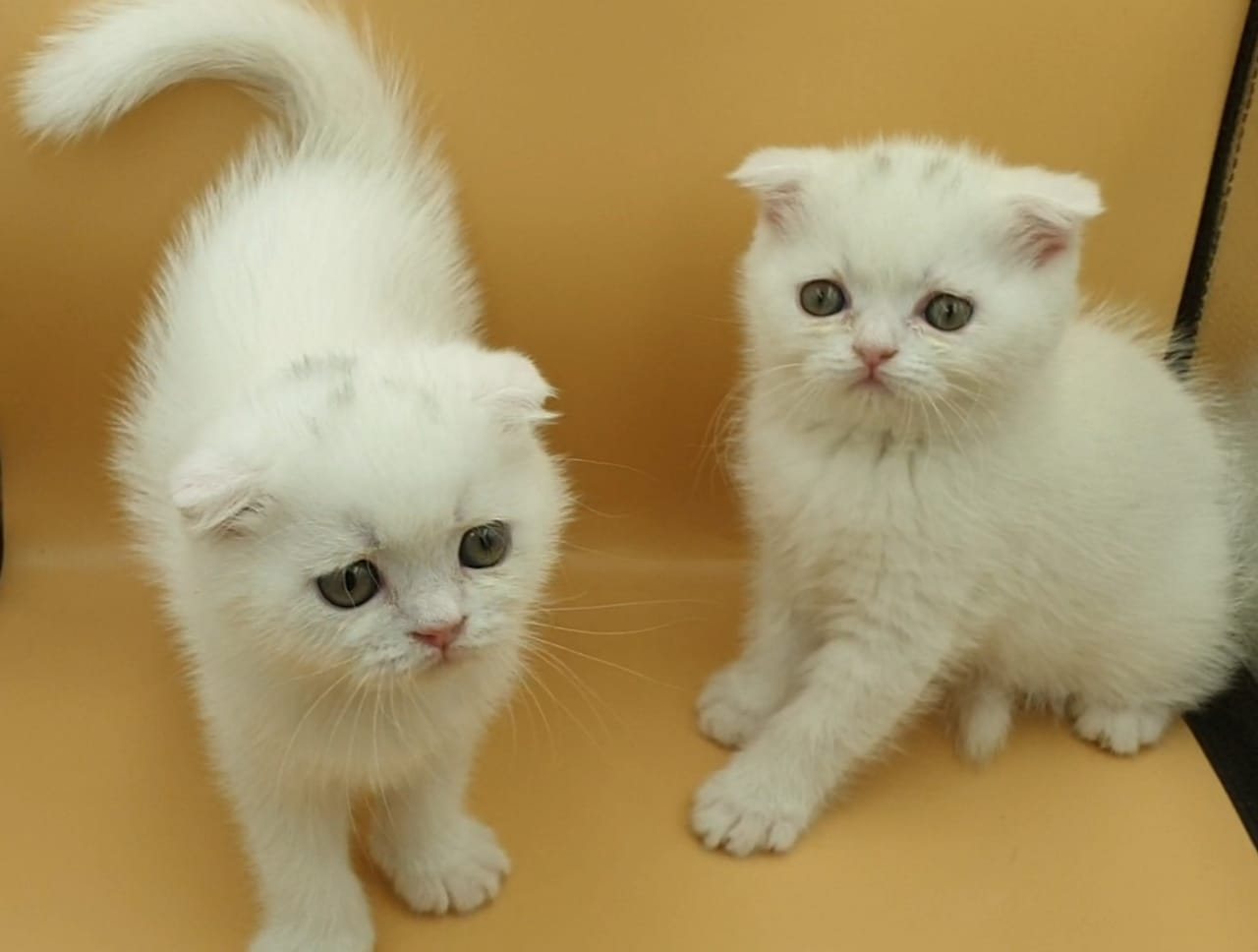 Scottish Fold -