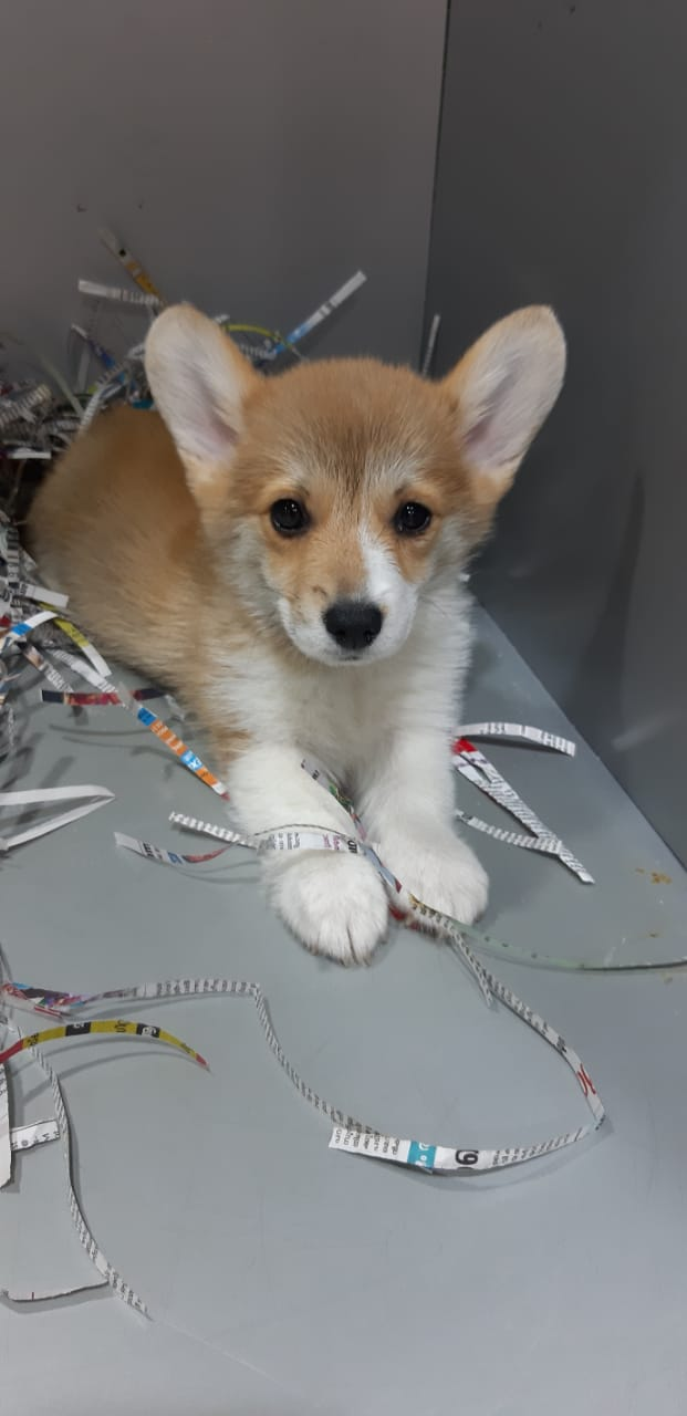 Pets Available Female Corgi