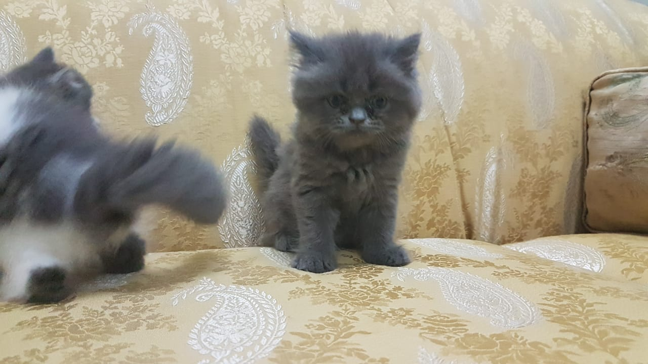 Pets Available - Persian Kitten