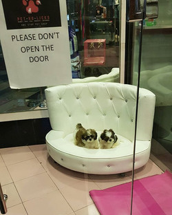 Shihtzu Pups Available